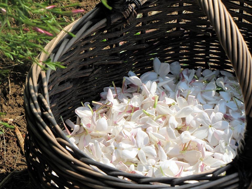Recolección flor de Jazmín
